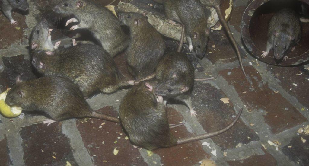 уничтожение крыс в Кургане
